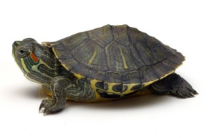 Red Eared Slider Care
