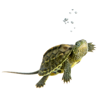 red ear slider turtle   facts you need to know